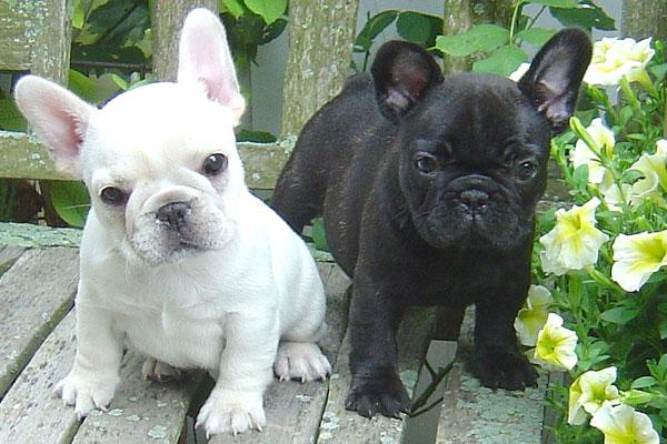 French Bulldog Club of...